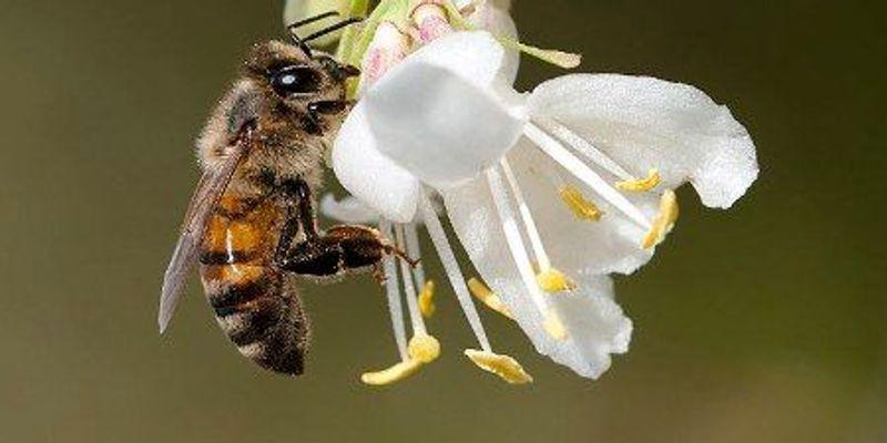 Pesticides Reduce Male Honeybee Fertility: Study