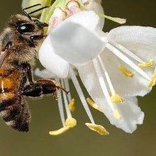 Pesticides Reduce Male Honeybee Fertility: Study