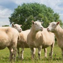 Study: Cloned Sheep Age Normally