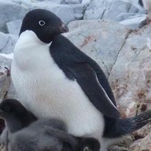 Image of the Day: Penguin Peril