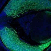 Blind Mice Regain Vision