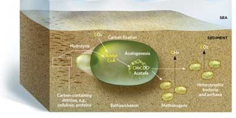 A New Role for Marine Archaea