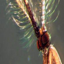 """""""Maleness"""" Gene Found in Malaria Mosquito"""
