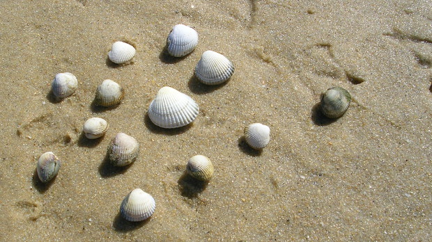 Transmissible Cancers Plague Mollusks The Scientist Magazine