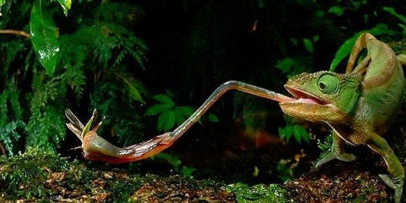 Chameleons Catch Prey with Sticky Spit