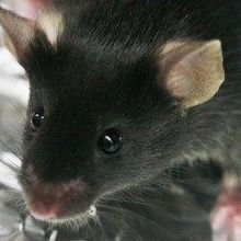 Single Bacterial Species Improves Autism-Like Behavior in Mice