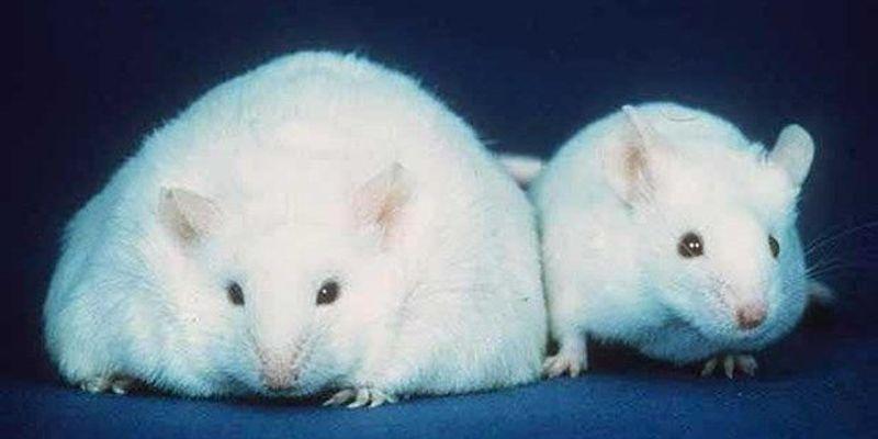Gut Microbiota–Obesity Link Clarified