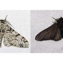 Gene Behind Black Peppered Moth's Color Change Identified