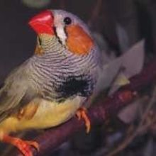 Zebra Finches Aid Neurodegeneration Research