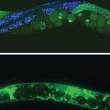 Questions Over <em>C. elegans</em> Life Span Factors