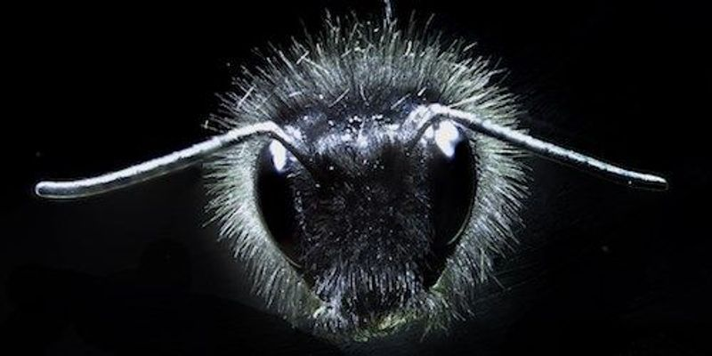 Bumblebees' Electric Sense