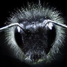 Bumblebees' Electric Sense