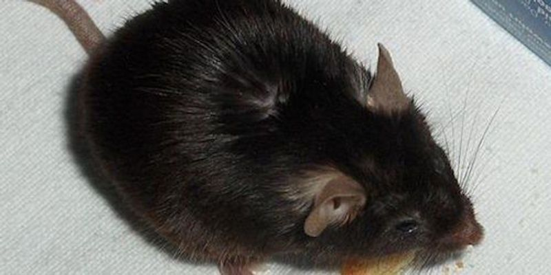 Immune Defect Detected in Knockout Mice