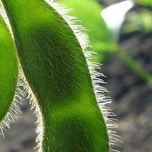 Report: Still Lots to Learn About GE Crops