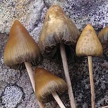"""Magic"" Mushroom Compound Eases Depression"