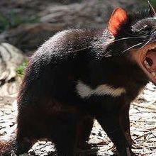 Tasmanian Devil Antibodies Fight Cancer