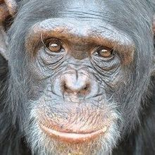 Research Chimps Being Retired