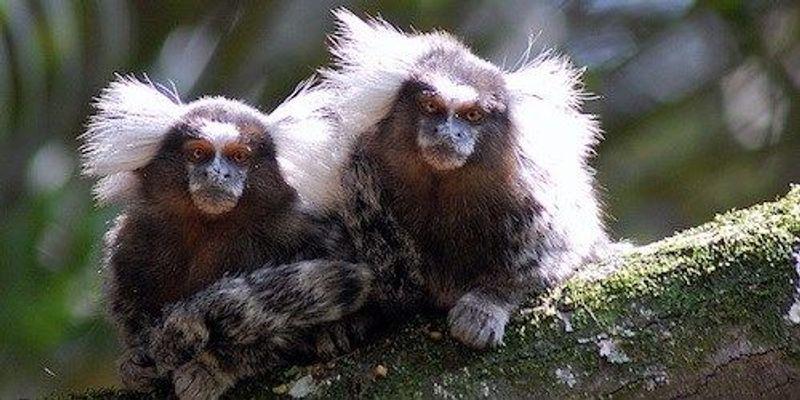 Zika-Infected Monkeys in Brazil