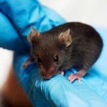 "Study: ""Dirty"" Mice More Humanlike"