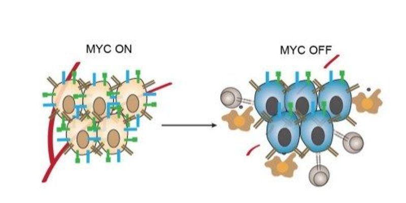 MYC Helps Cancer Hide