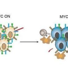 MYC Helps Cancer Hide