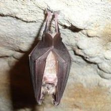 China's Bats Widely Resistant to White-Nose Syndrome