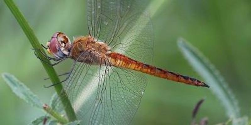 Dragonfly is World-Record Flier