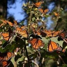 Migrating Monarch Numbers Rebound