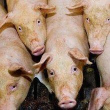 Pig-to-Pig Transmission of Mosquito-Borne Virus
