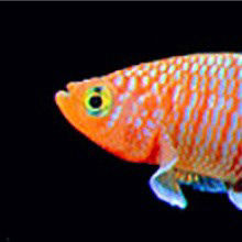 Mitochondrial Activity Predicts Fish Life Span?