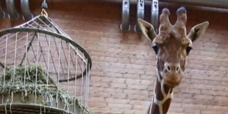 Giraffe in Half