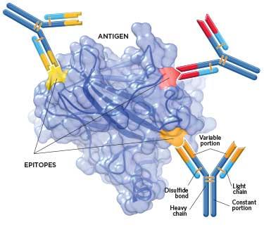 Antibody Alternatives | The Scientist Magazine®