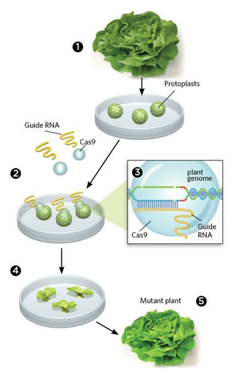 gene editing without foreign dna the scientist magazine174
