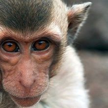Engineered Monkeys Could Aid Autism Research