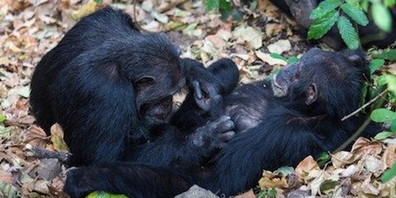 Chimps Share Microbes When Socializing