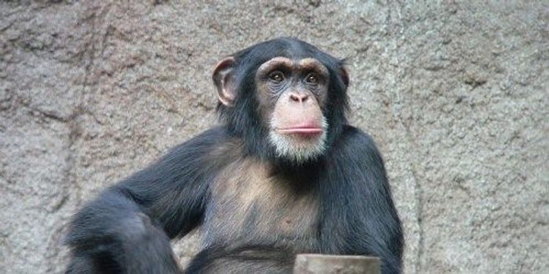 Embattled Chimps Relocate