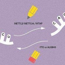 RNA Methylation Dynamics