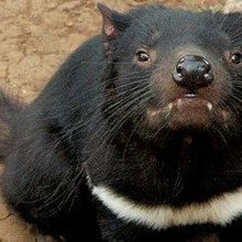 Second Contagious Cancer Found in Tasmanian Devils