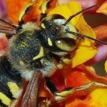 US Wild Bee Populations Waning