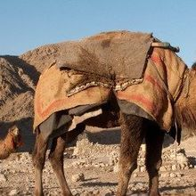 MERS Vax Tested in Camels