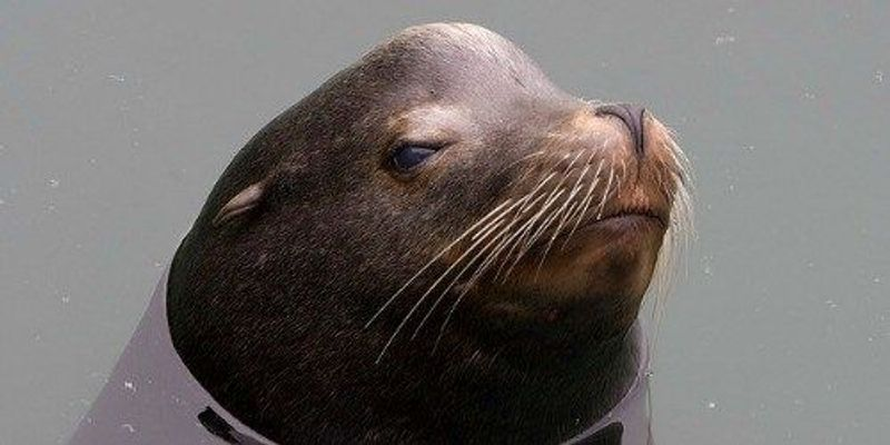 Algal Toxin Hurts Sea Lion Memory