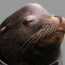 Algal Toxin Hurts Sea Lion Memory
