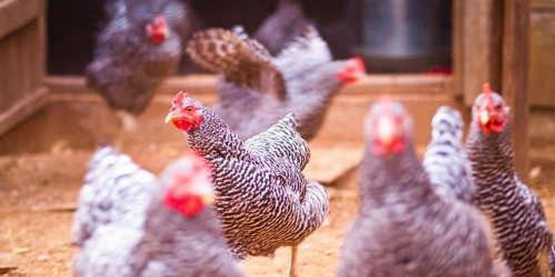 Drug Produced in GM Chicken Approved