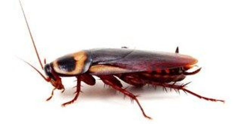 Gut Bugs Affect Cockroach Poop-ularity