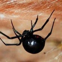 Spiders, Prey Leave DNA