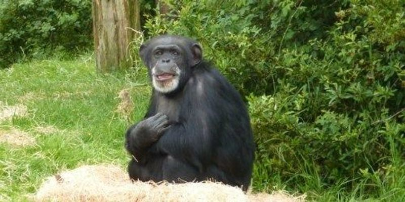 Retirement for All NIH Chimps