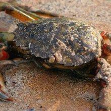 Stressed Shore Crabs