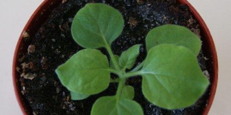 Engineering Virus-Resistant Plants