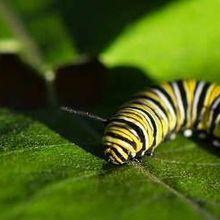Butterflies Weaponize Milkweed Toxins