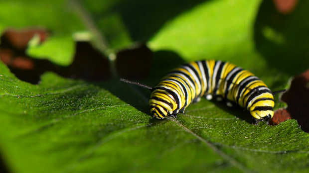Monarch Caterpillar On Common Milkweedflickr